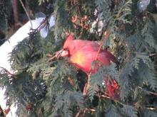 A northern cardinal in Stow.