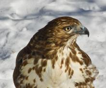 A red-tailed hawk in Marlborough, photographed by Vin Cerrati.