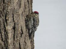 A yellow- bellied sapsucker in Stow.