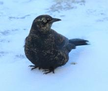 A rusty blackbird at Assabet River National Wildlife Refuge in Sudbury, photographed by Dan Trippe.