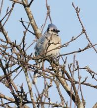 A blue jay at Breakneck Hill Conservation Land in Southborough, photographed by Steve Forman.