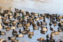 Mallards and a Canada goose at Hager Pond in Marlborough, photographed by Steve Forman.