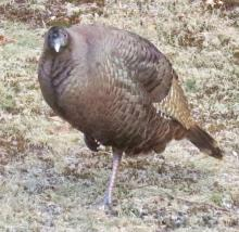 A turkey in Framingham, photographed by Steve Forman.