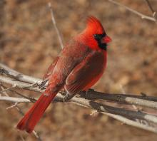 A northern cardinal in Northborough, photographed by Sandy Howard.