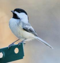 A black-capped chickadee in Lincoln, photographed by Steve Forman.