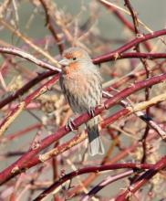 A house finch in Southborough, photographed by Steve Forman.