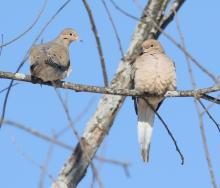 Mourning doves in Southborough, photographed by Steve Forman.