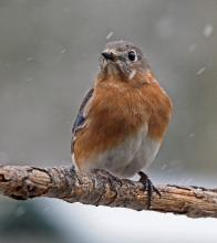 An eastern bluebird in Framingham, photographed by Joan Chasan.