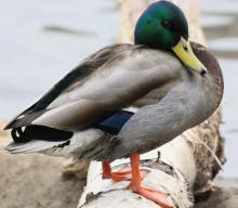 A male mallard at Hager Pond in Marlborough, photographed by Steve Forman.