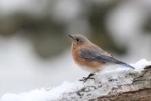 An eastern bluebird in Sudbury, photographed by Sue Feldberg.