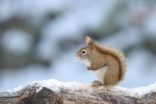 A red squirrel in Sudbury, photographed by Sue Feldberg.
