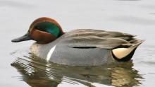 A green-winged teal at Hager Pond in Marlborough, photographed by Steve Forman.