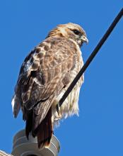 A red-tailed hawk in Boylston, photographed by Joan Chasan.
