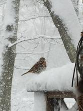 A fox sparrow in Maynard, photographed by Gail Sartori.