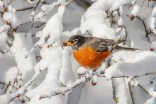 An American robin in Framingham, photographed by Sandy Gotlib.