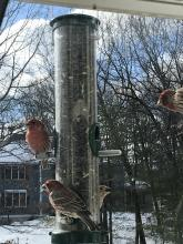 House finches in Marlborough, photographed by Karin Paquin.