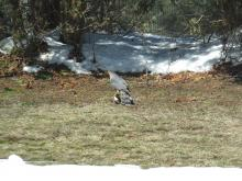 A Cooper's hawk with a northern flicker in Stow.