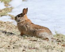 A cotton-tailed rabbit at Breakneck Hill Conservation Land in Southborough, photographed by Steve Forman.