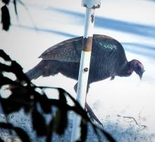A turkey in Harvard, photographed by Robin Right.