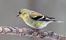 An American goldfinch in Framingham, photographed by Joan Chasan.