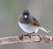 A dark-eyed junco in Framingham, photographed by Joan Chasan.