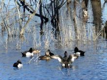 Ring-necked ducks on the Sudbury River in Lincoln, photographed by Harold McAleer.