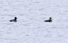 A ring-necked duck at Farm Pond in Framingham, photographed by Steve Forman.