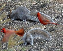 A gray squirrel and a northern cardinal in Lincoln, photographed by Harold McAleer.
