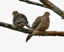 Mourning doves at Breakneck Hill Conservation Land in Southborough, photographed by Steve Forman.