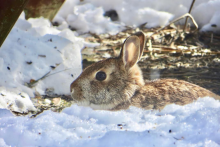 A cotton-tailed rabbit in Framingham, photographed by A.J. Sullivan.
