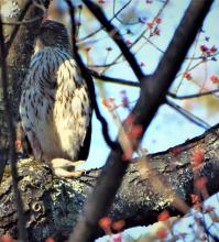 A Cooper's hawk with prey in Harvard, photographed by Robin Right.