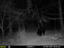 An American black bear in Littleton, photographed with an automatically triggered wildlife camera by Chuck Faraci.