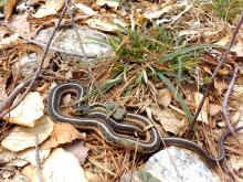 A common garter snake at Great Oak Farm in Berlin, photographed by Dan Stimson.