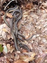 Common garter snakes at Summer Star Wildlife Sanctuary in Boylston, photographed by Dan Stimson.