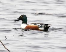 A northern shoveler at Great Meadows National Wildlife Refuge in Concord, photographed by Steve Forman.
