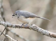 A tufted titmouse in Lincoln, photographed by Steve Forman.