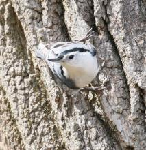A white-breasted nuthatch in Lincoln, photographed by Steve Forman.