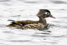 A wood duck at Great Meadows National Wildlife Refuge in Concord, photographed by Steve Forman.
