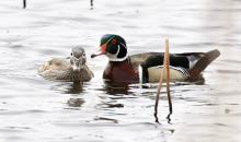 A pair of wood ducks at Great Meadows National Wildlife Refuge in Concord, photographed by Steve Forman.