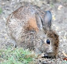 A cotton-tailed rabbit in Framingham, photographed by Steve Forman.