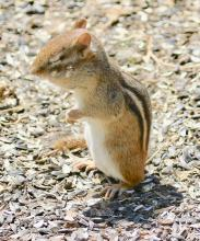 An eastern chipmunk at Drumlin Farm in Lincoln, photographed by Steve Forman.