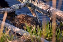 A muskrat at Assabet River National Wildlife Refuge, photographed by Cynthia Pratt.
