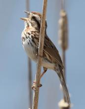 A song sparrow at Great Meadows National Wildlife Refuge in Concord, photographed by Steve Forman.