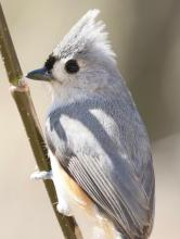 A tufted titmouse at Drumlin Farm in Lincoln, photographed by Steve Forman.