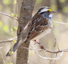 A white-throated sparrow at Drumlin Farm in Lincoln, photographed by Steve Forman.