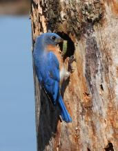 An eastern bluebird at the Assabet River National Wildlife Refuge in Sudbury, photographed by Dan Trippe.