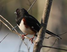 An eastern towhee at the Assabet River National Wildlife Refuge in Sudbury, photographed by Dan Trippe.