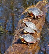 Painted turtles at Garden in the Woods in Framingham, photographed by Joan Chasan.