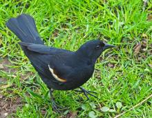 A red-winged blackbird in Framingham, photographed by Joan Chasan.