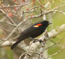 A red-winged blackbird at SVT's Memorial Forest in Sudbury, photographed by Dan Trippe.